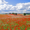 Poppy Fields, Kinver, Staffordshire