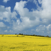 Oilseed Rape, Quintrell Downs nr Newquay, Cornwall
