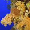 The Soft Corals of The Red Sea - Marsa Alam, Egypt