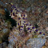 Blue Ringed Octopus (Extremely poisonus!), Liquid Dumaguete Dauin, Philippines