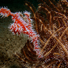 Ornate Ghost Pipe Fish, Liquid Dumaguete Dauin, Philippines